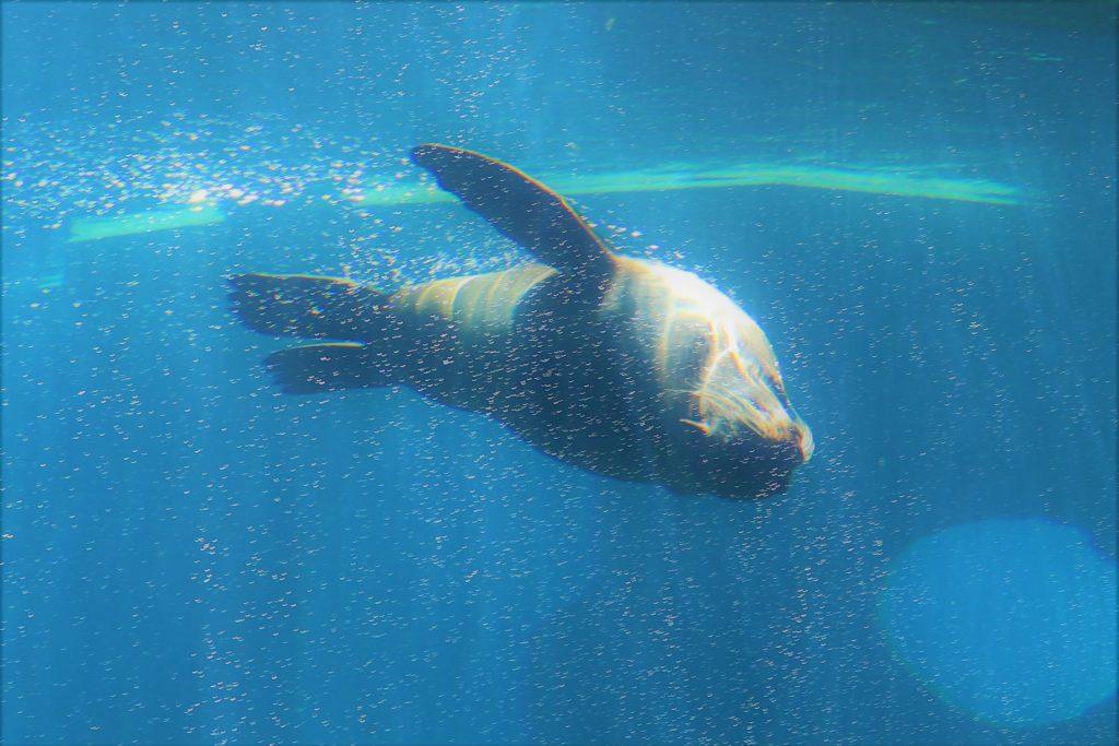 "Seal playing in the water, Wrocław ""Afrykarium"" zoo"